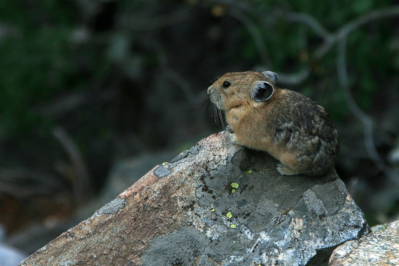 Pika dans le Grand Teton N.P. / Spirit lake - photo © Bernard Duyck