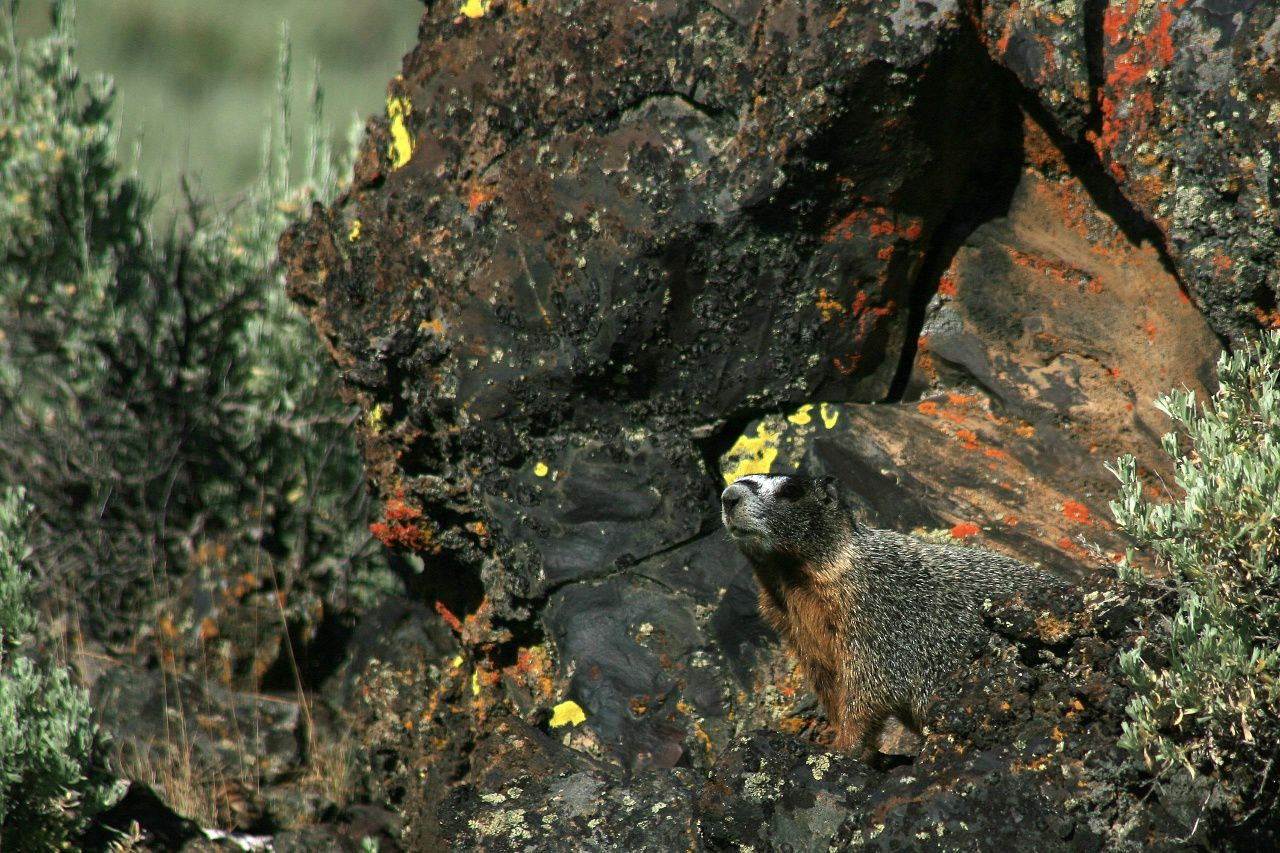 Will this yellow-bellied marmot, mimicking in the rocks of Crater of the Moon, suffer the same fate as the pikas? - photo © Bernard Duyck