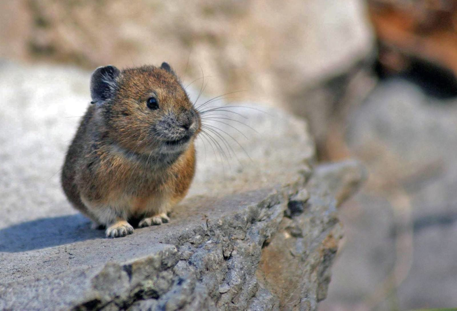 Pika in the Crater lake N.P. - photo NPS 2017