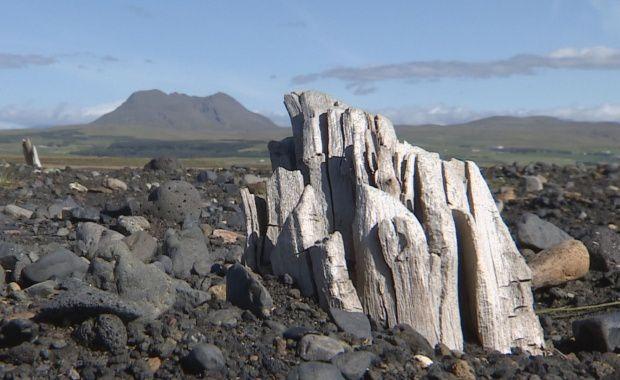 Certains des bouleaux trouvés dans la forêt préhistorique de Drumbabót mesurent 30 cm de largeur, indiquant que l'Islande avait une couverture forestière prospère avant l'arrivée des colons humains. Photo / Stöð 2.