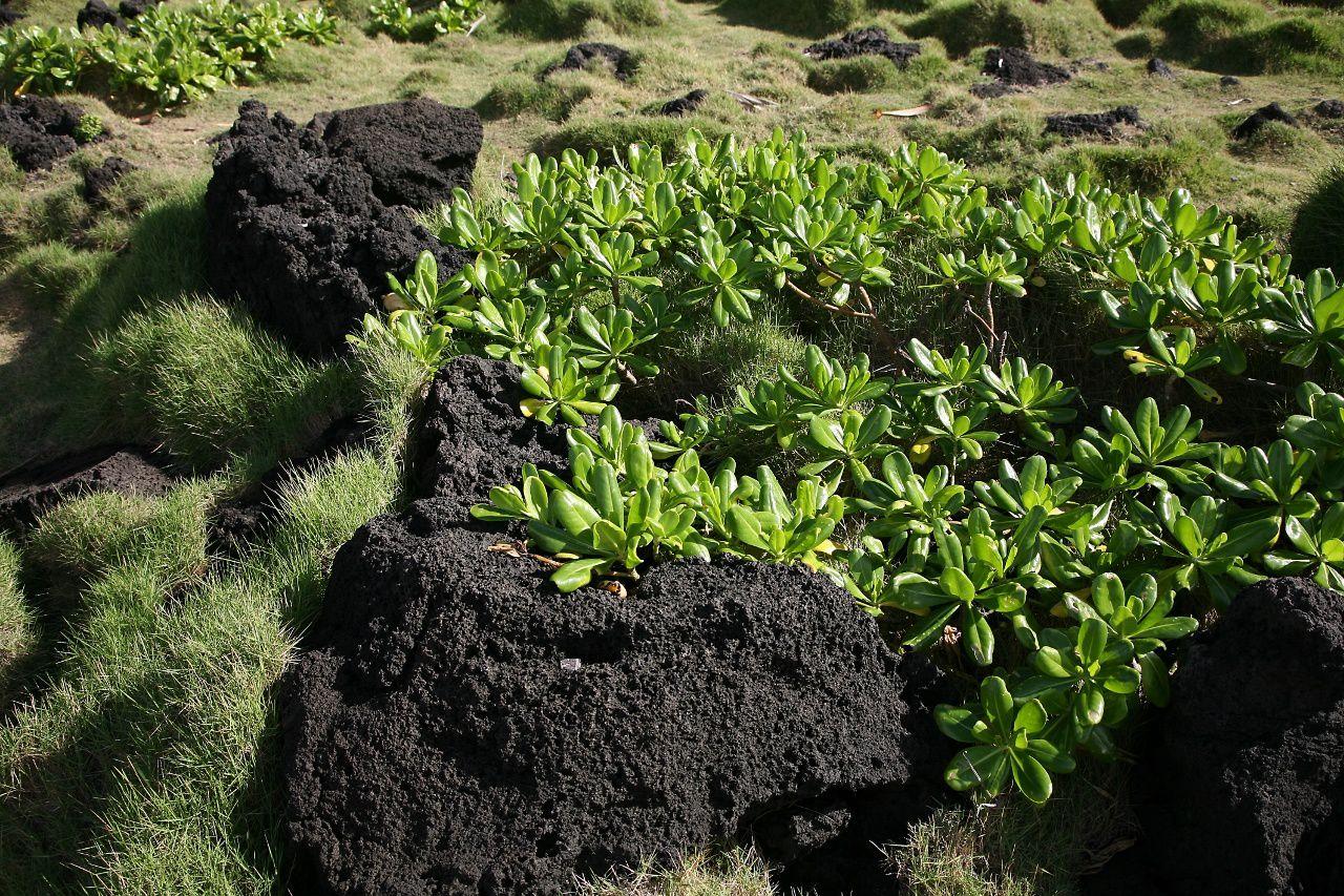 Cap Méchant - Manioc marron et herbe pique-fesses sur le basalte - photo © Bernard Duyck / Juin 2017
