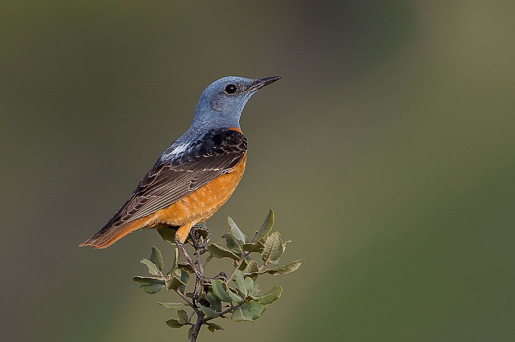 Monticola saxatilis - male of common rock thrush - By Pierre Dalous / Personal work, CC BY-SA 3.0, commons.wikimedia.org (2)