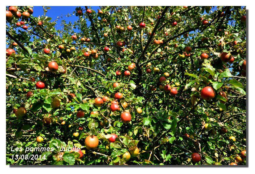 Les pommes &quot&#x3B;Jubilé&quot&#x3B; et d'autres