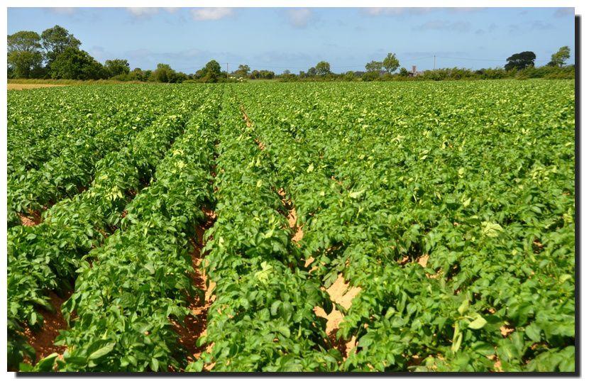 Val de Saire : des variétés de pomme de terre