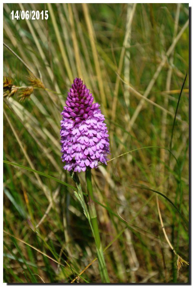 Val de Saire : des orchidées, l'orchidée des dunes