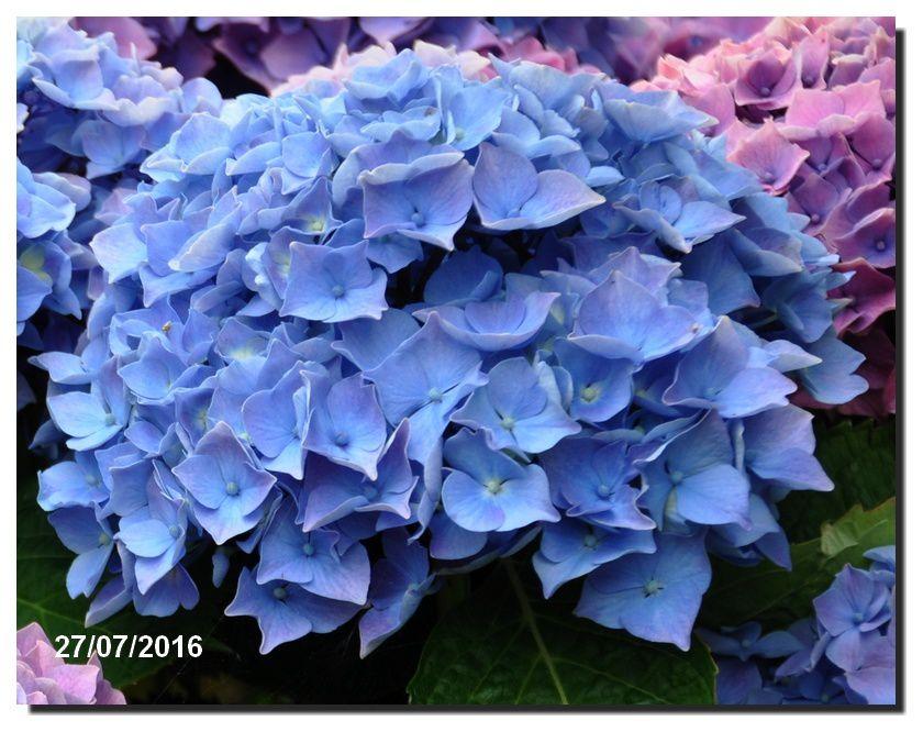 La couleur des Hortensias