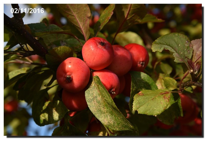 Les fruits rouges de Montfarville