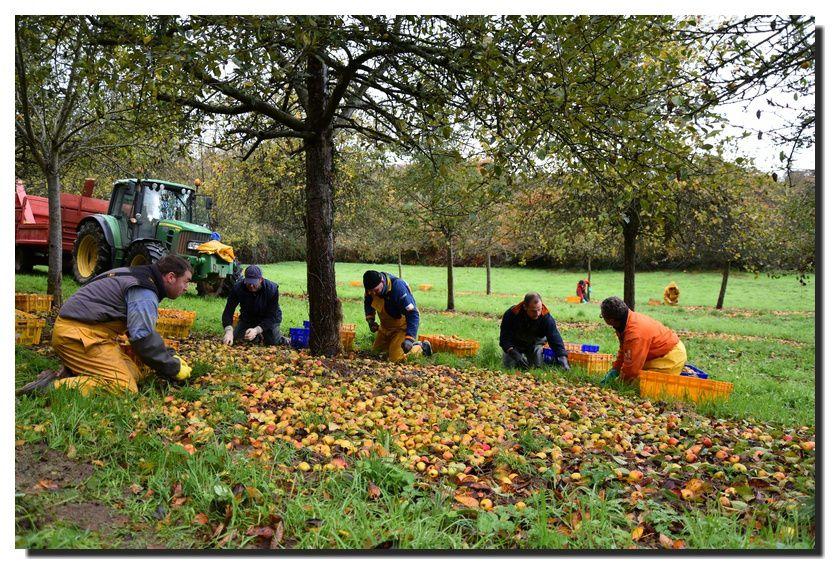 Le ramassage des pommes