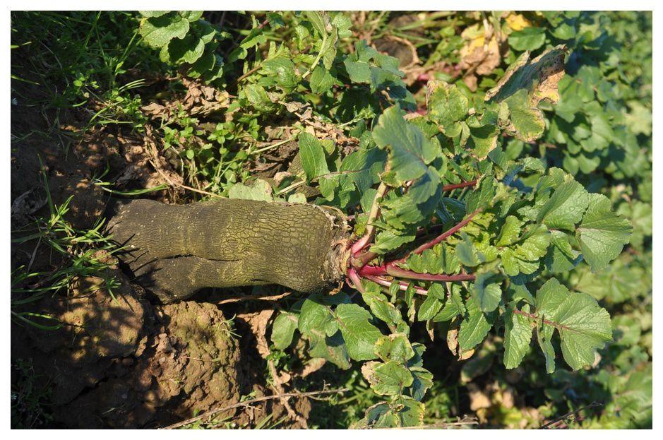 Un produit prometteur : le radis noir