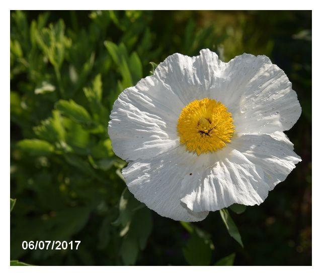 La fleur surprise : romneya coulteri