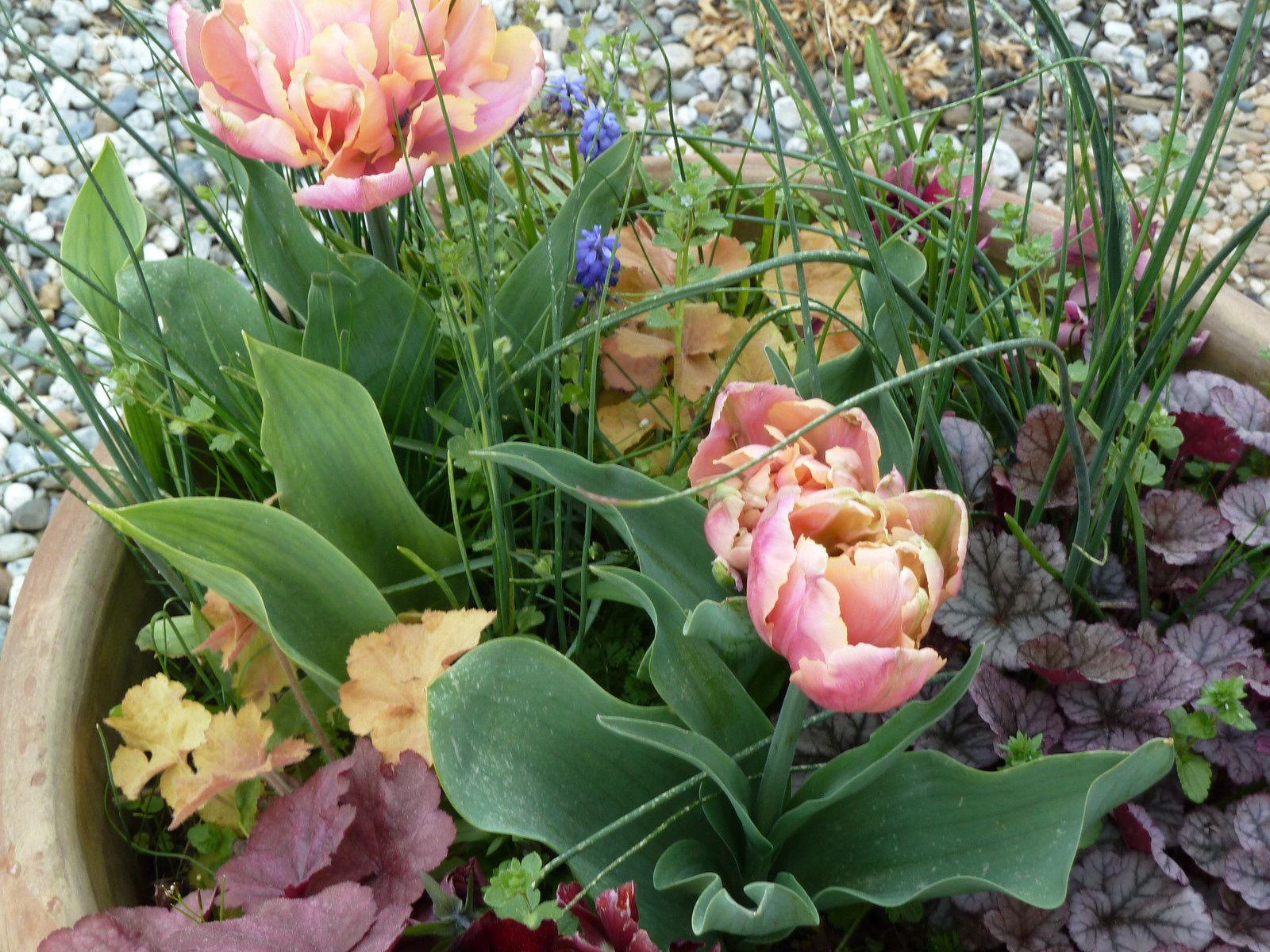Tulipes et Heuchères qui voisinent dans une potée sur la terrasse.