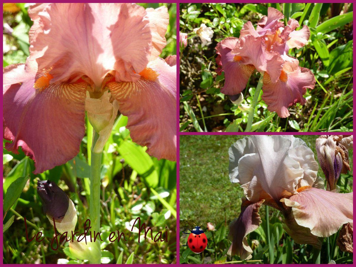 L'Iris germanica Red Wine