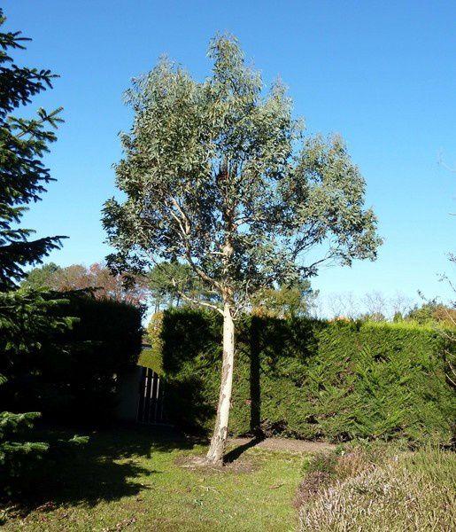 Mon Eucalyptus