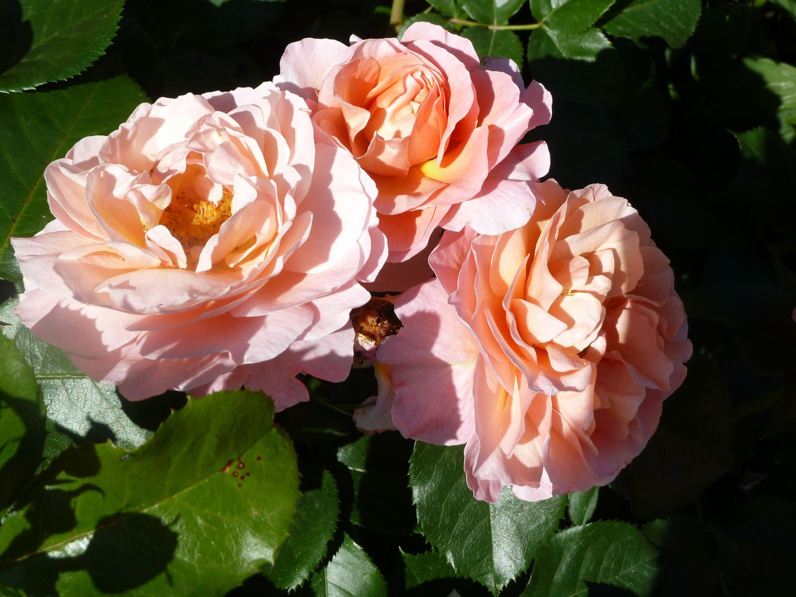 Roses Marie Curie - Meilland
