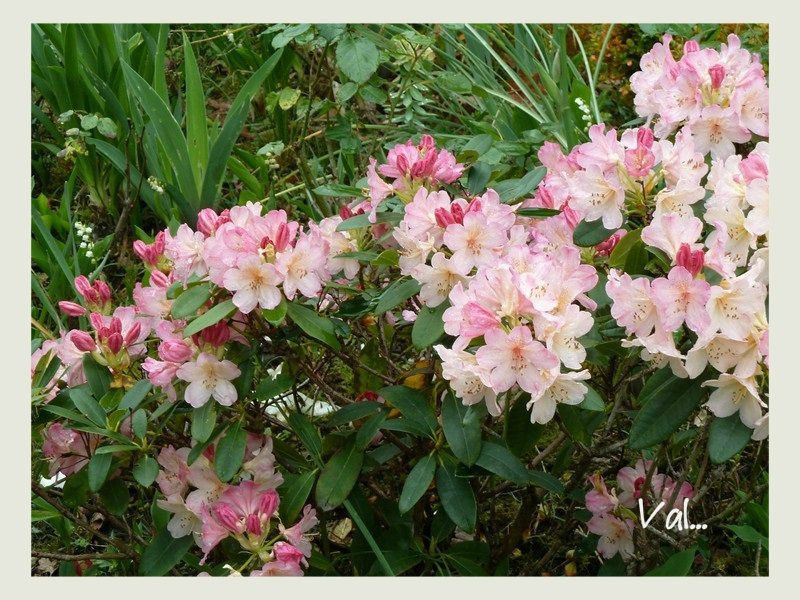 Rhododendron Dream land.