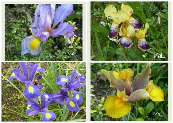 Iris Germanica et de Hollande ( bleus en bas à gauche)