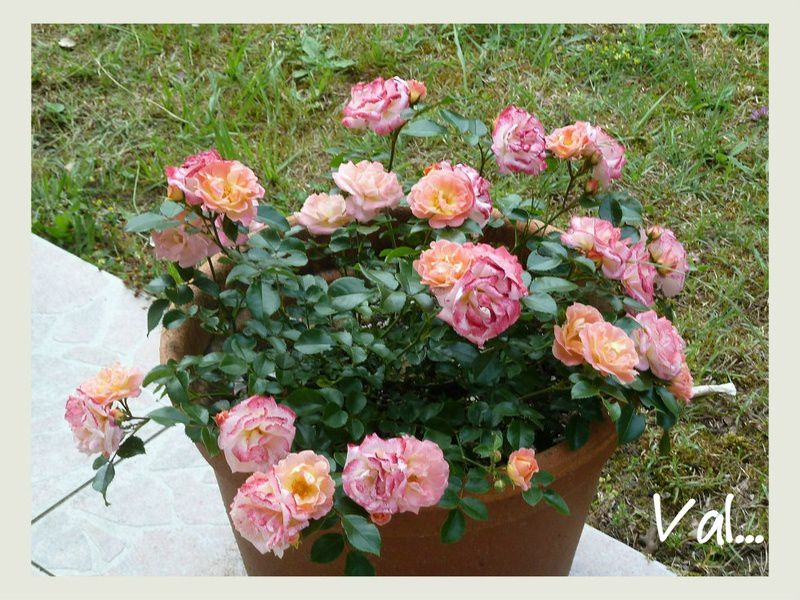 Rosier Peach Drift - Meilland