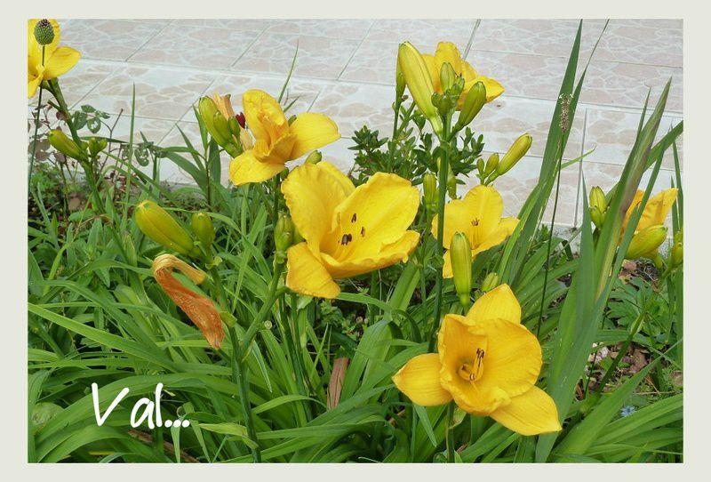 Détails des fleurs d' Hémérocalles.