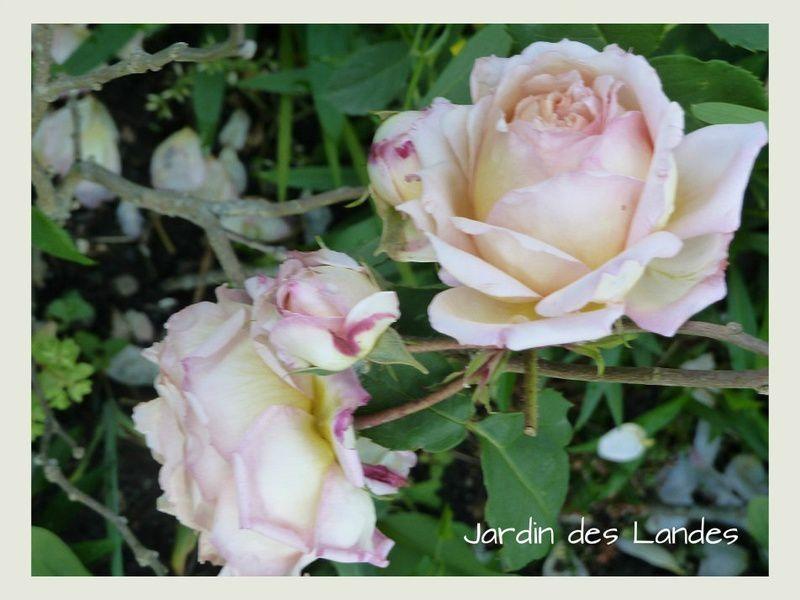 Roses Charles de Nervaux - roses anciennes de chez Guillot.