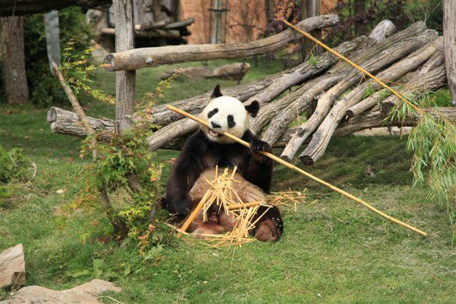 L'un des deux pandas prêtés par la Chine au zoo de Beauval