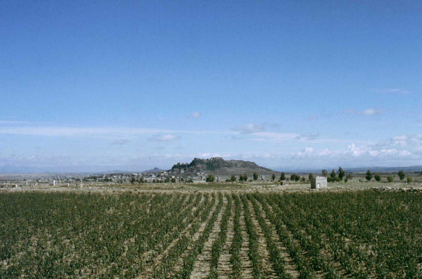 Plantation de khat