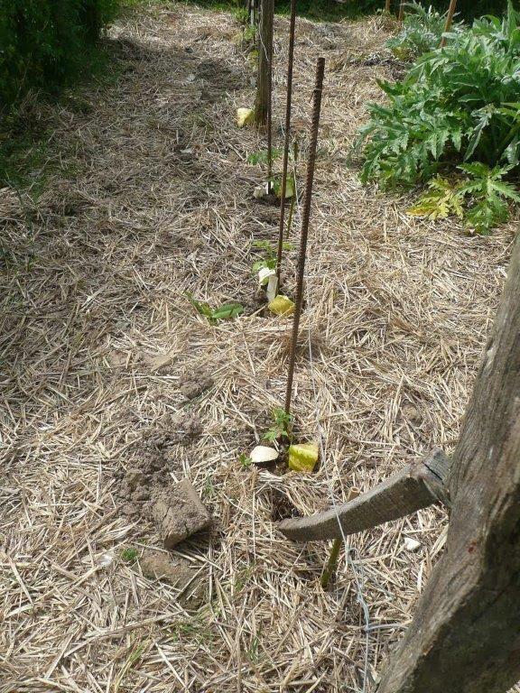 Piment d'Espelette dans un seau percé, Arachide,Tournesol et Mais,Tomates avec leur piège a limaces
