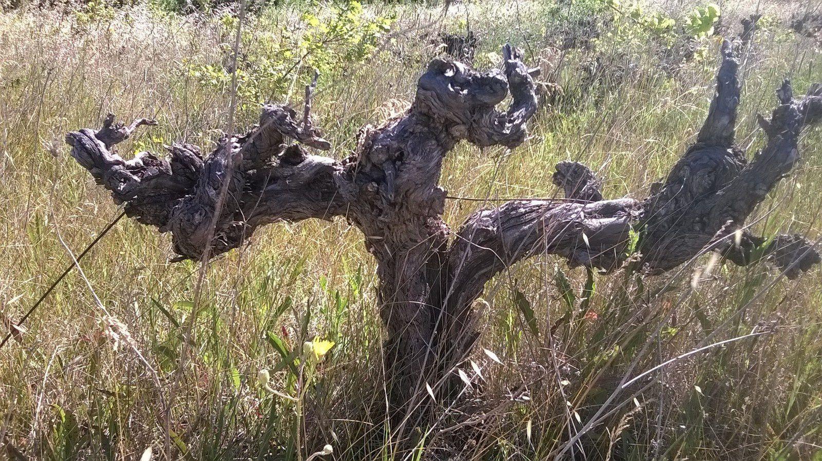 Vignes abandonnées en Lubéron