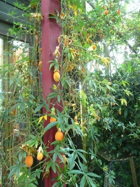 Les fruits de la passion sont murs et les raisins apyrènes portugais commencent a vérer