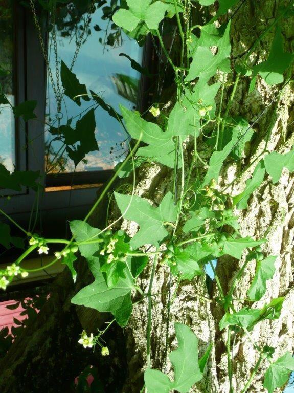Les plantes spontanées sont utilisées......