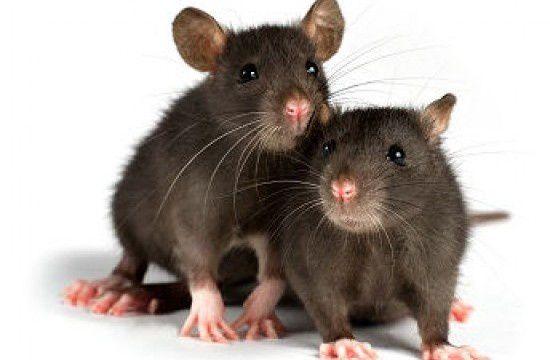 Pensée matutinale : Prisonniers du plaisir...comme des rats !