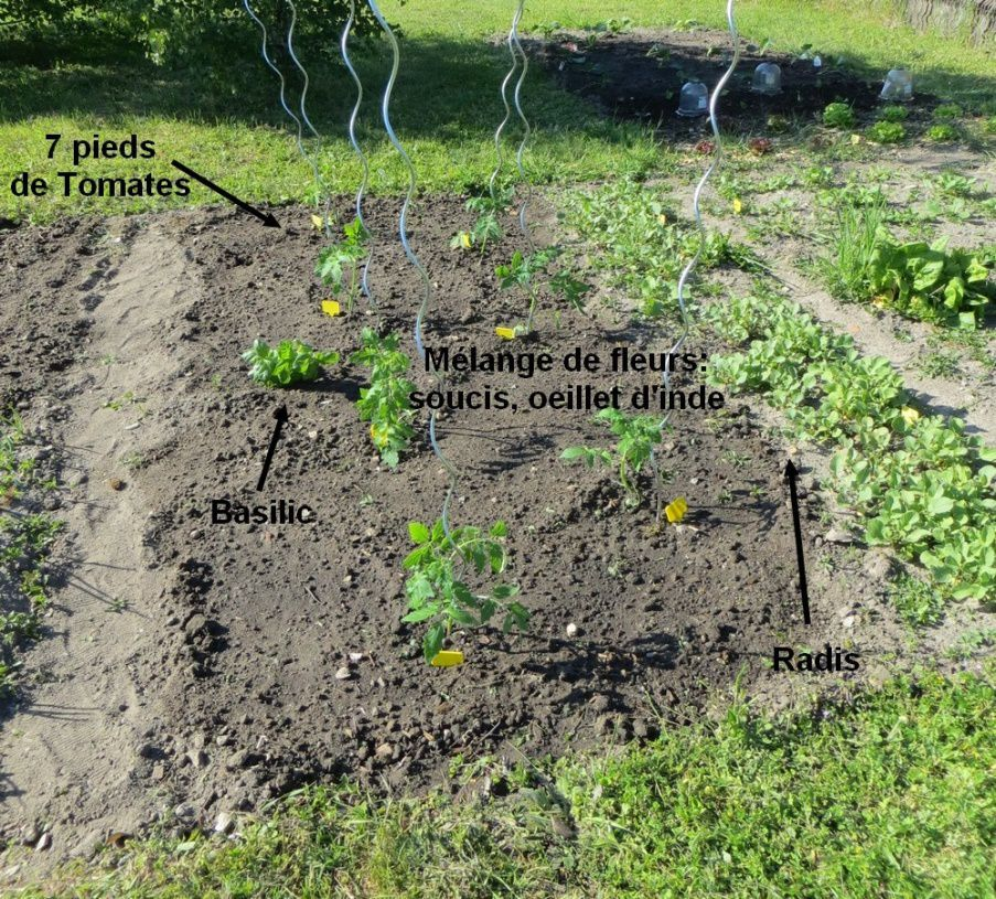 7 variétés de tomates différentes ( 4 rouges dont 1 de mon papy, 3 variétés originales: evergreen, lemon boy et noire de crimée)