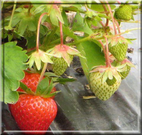 Le conservatoire de la fraise