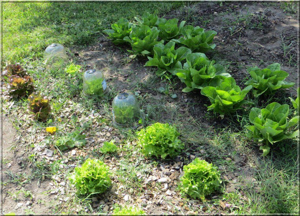 Les salades: laitues de printemps, laitues dorées et laitues romaines qui ont super bien poussées