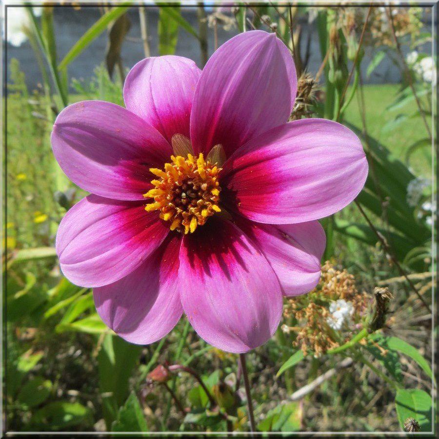 Dahlia rose?