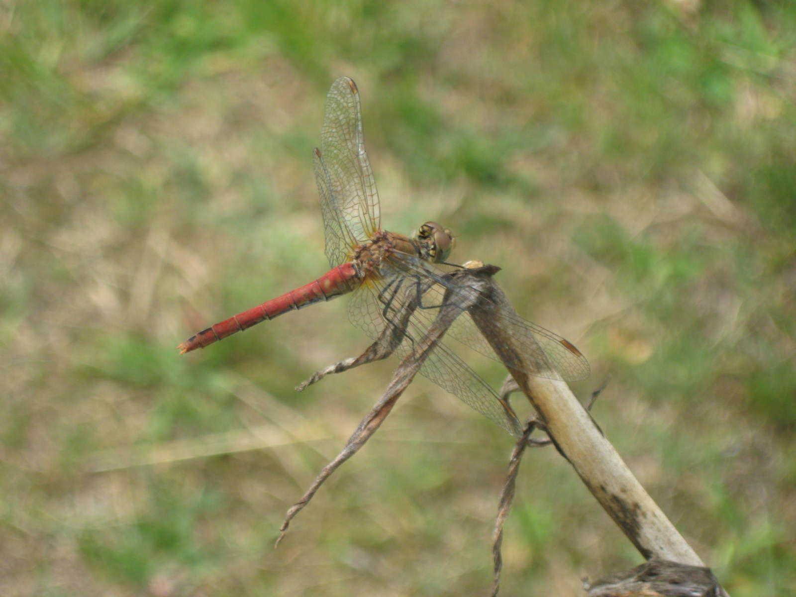 libellule rouge orangé