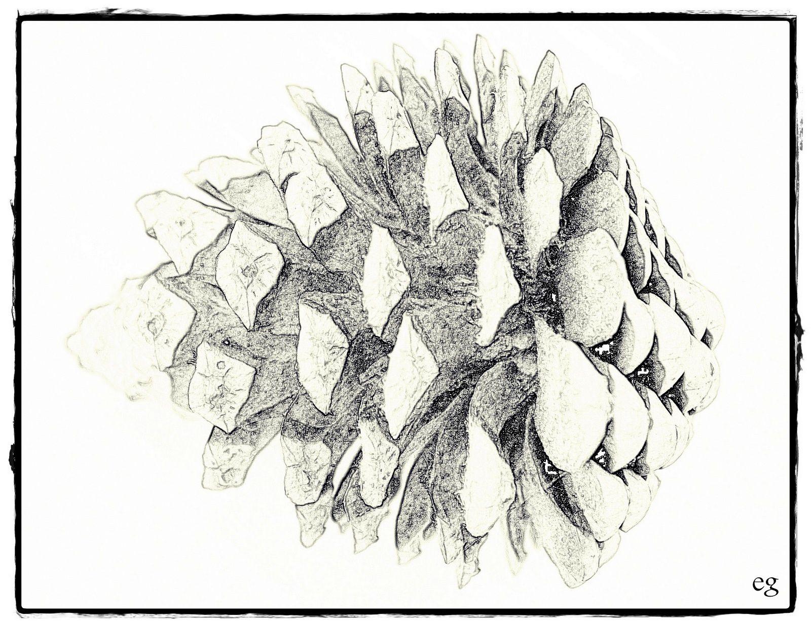 pomme de pin des landes_ eva_dessin