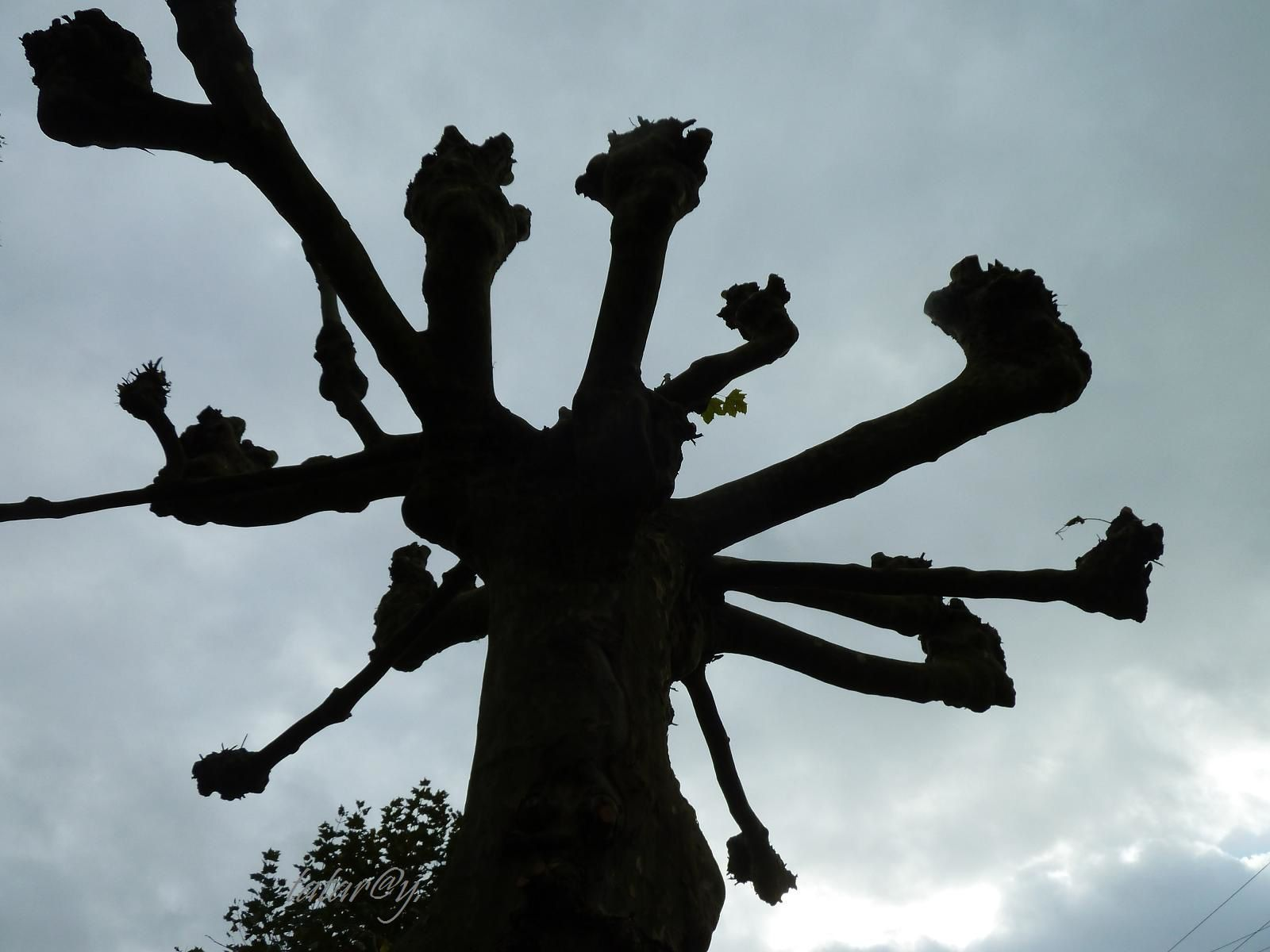tataray_arbre2_photo