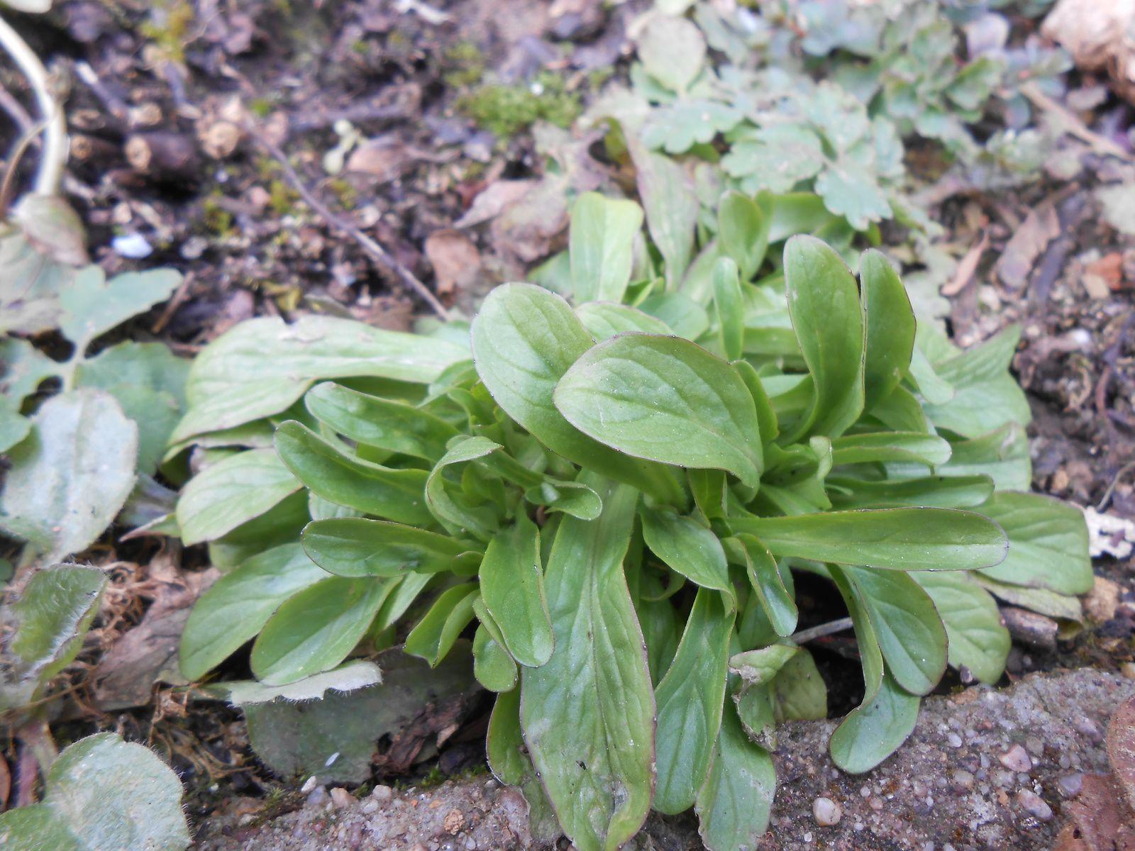 Salade sauvage en attendant le printemps