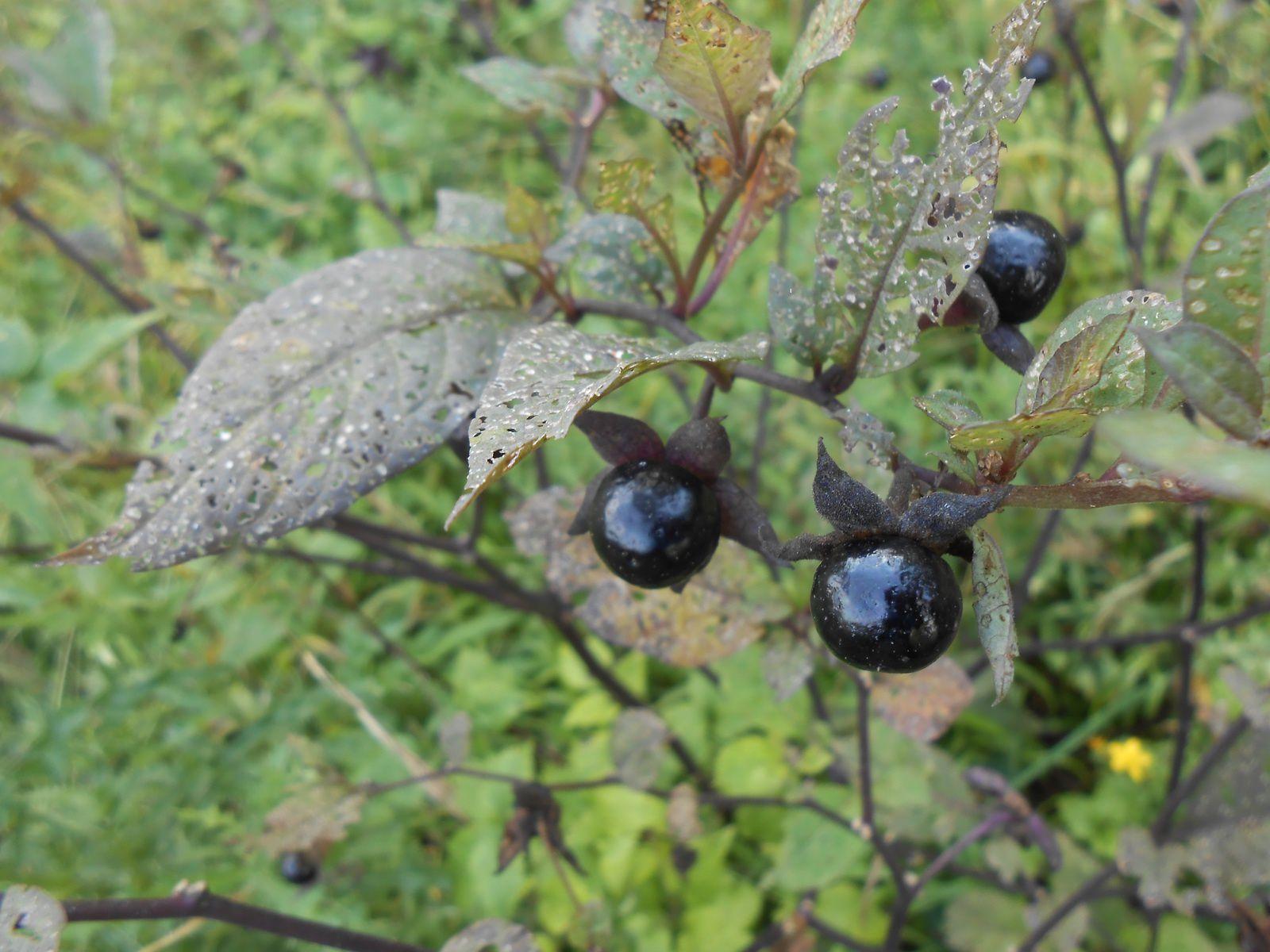 belladone fruits secteur Moyeuvre Petite