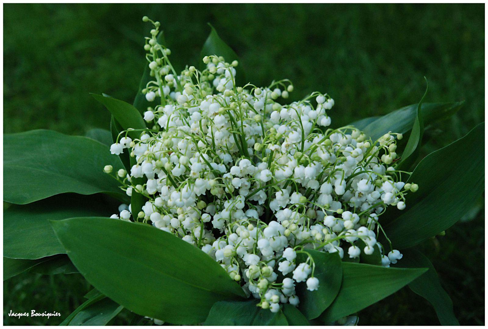 Muguet au c ur du 1er mai images du beau du monde - Photos de bouquet de muguet ...