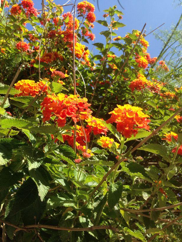 Fleurs de Lipari