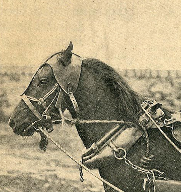 les chevaux doivent s'habituer au casque de cuir épais - Coll.RL