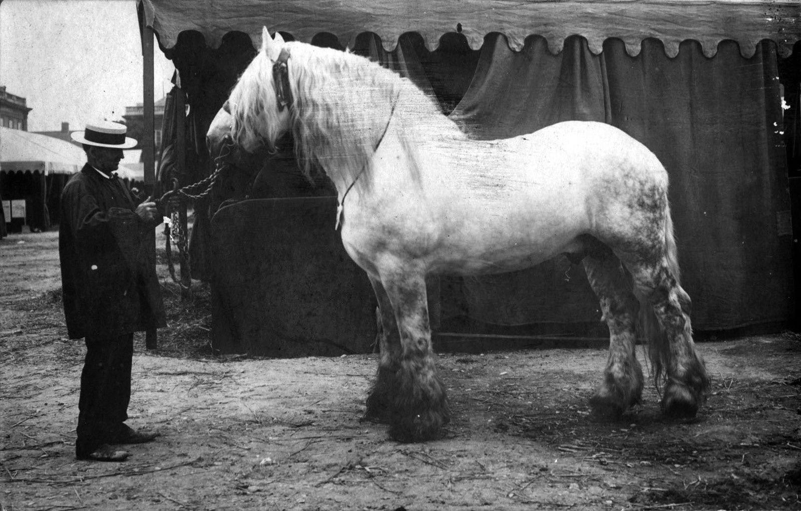 L'étalon mulassier poitevin tel qu'on le recherchait : Breton 1er né en 1898 (photographié à Paris en 1909)
