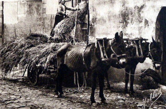 La mule et l'attelage au  joug &quot&#x3B;landais&quot&#x3B; &#x3B;1° Histoire