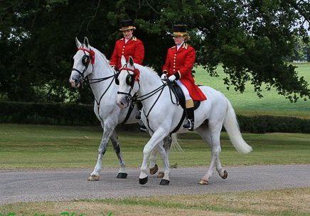 Garçons d'attelage des Ecuries royales anglaises montés sur des chevaux à brides à œillères. Ascot 2015.