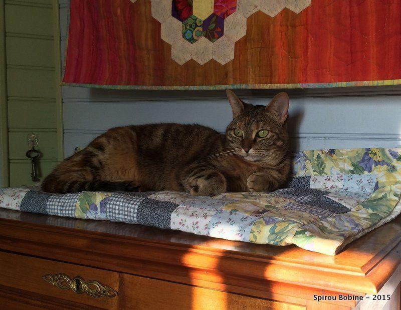 Miss Daisy sur son coussin, perché en haut du secrétaire