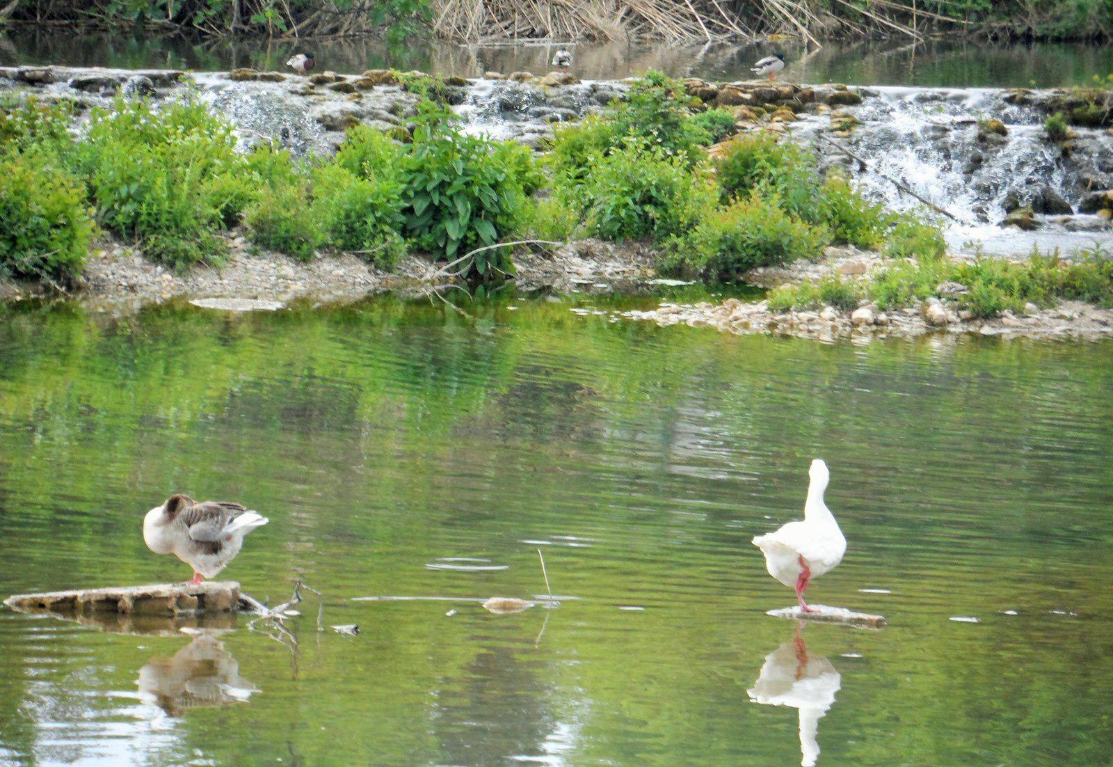 Il n'y a que les canards pour se réjouirent du mauvais temps !
