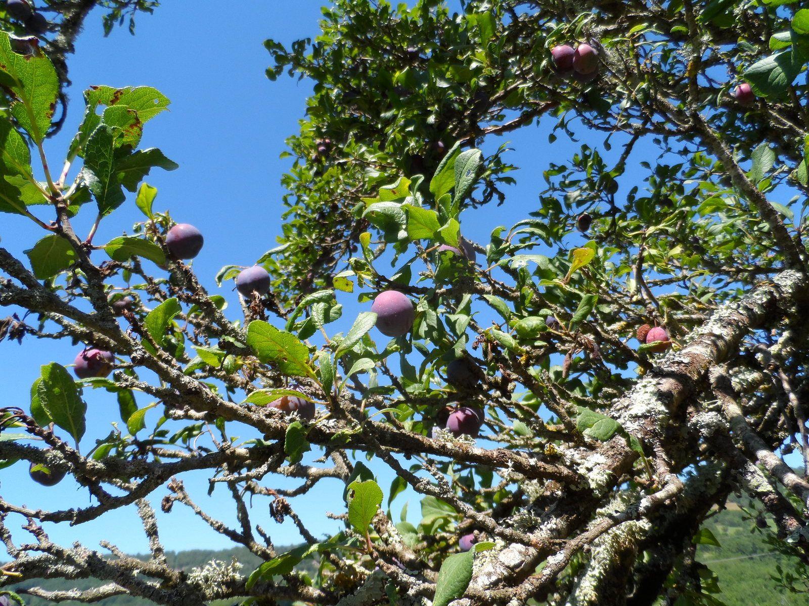 Le long du sentier, des pruniers, les branches ploient sous les fruits.