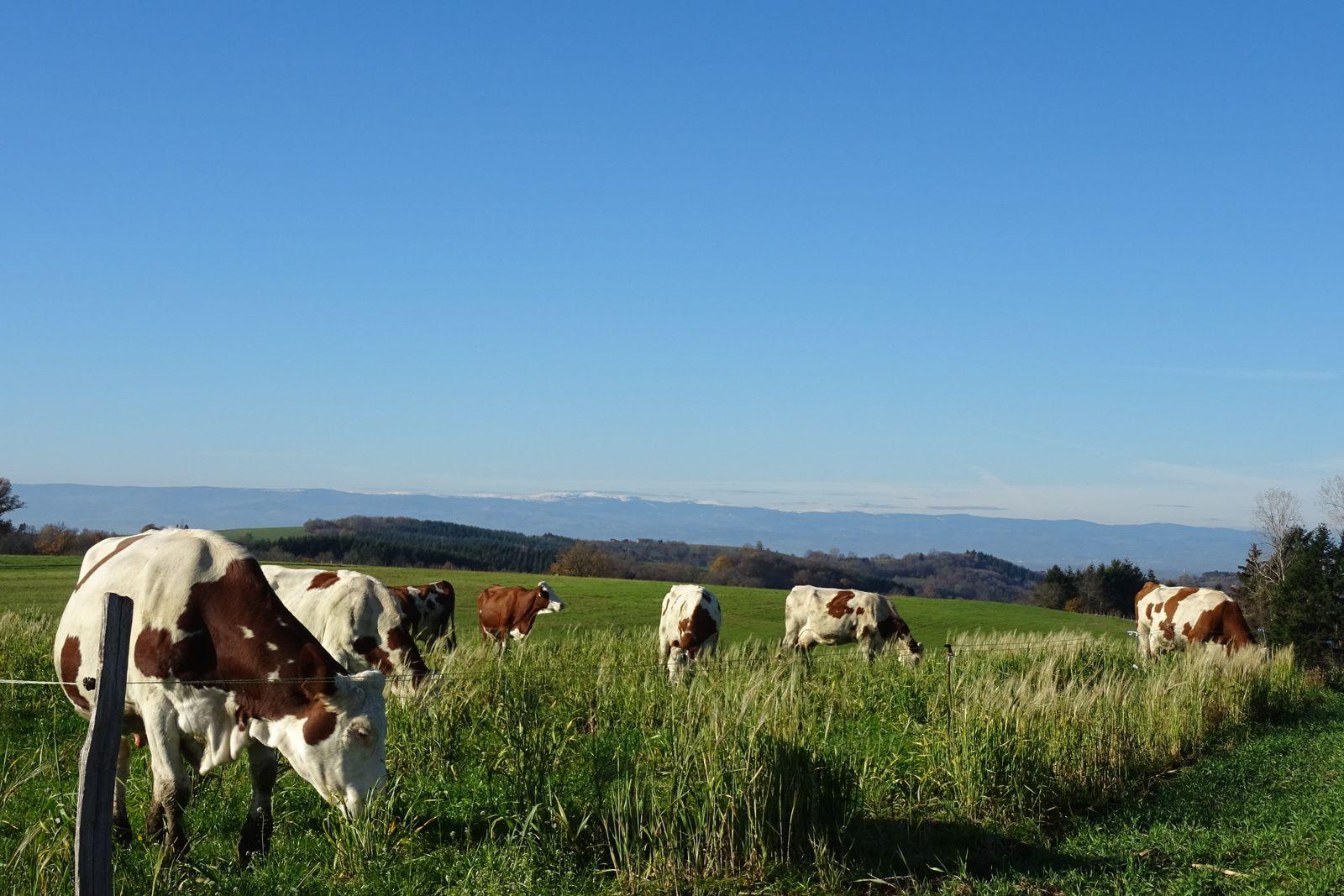 Ces vaches ne le savent pas mais la douceur hivernale leur évite d'être prisonnières dans une stabulation, elles peuvent encore profiter des grands espaces.