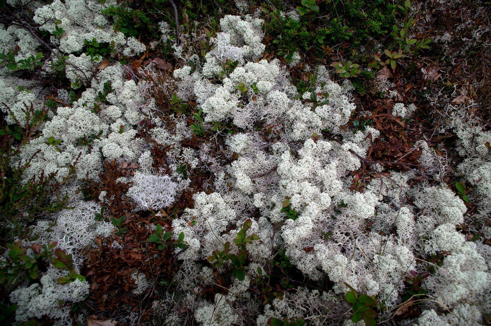 des lichens énormes !!!!